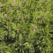 Pušis restoji 'Paradekissen' <br>(Pinus uncinata 'Paradekissen')