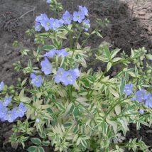 """Palemonas mėlynasis""""Snow sapphire""""<br>(Polemonium caeruleum""""Snow Sapphire"""")"""
