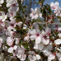 "Vyšnia ""Accolade"" <br>(Prunus ""Accolade"")"