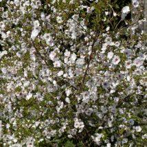 """Vyšnia """"Hally Jolivette"""" <br>(Prunus """"Hally Jolivette"""")"""