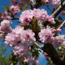 "Vyšnia ""Kiku-Shidare-Zakura"" <br>(Prunus ""Kiku-Shidare-Zakura"")"