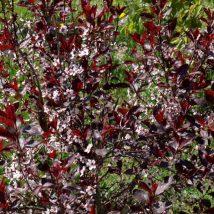 Vyšnia raudonlapė <br>(Prunus cistena)