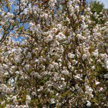 "Vyšnia ankstyvoji""Kojou-no-mai""<br>(Prunus incisa""Kojou-no-mai"")"