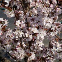 "Vyšnia niponinė""Ruby"" <br>(Prunus nipponica""Ruby"")"