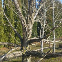 Ažolas stambiavaisis <br>(Quercus macrocarpa)
