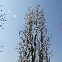 "Ažolas paprastasis""Siedlec"" <br>(Quercus robur""Siedlec"")"