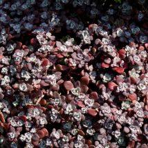 "Šilokas bukalapis""Purpureum""<br>(Sedum spatulifolium""Purpureum"")"