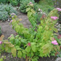 "Lanksva  japoninė ""Macrophyla"" <br>(Spiraea japonica""Macrophyla"")"