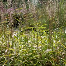 Šarmotė sibirinė<br>(Spodipogon sibiricus)