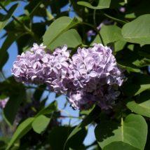 """Alyvos paprastosios """"Carpe Diem"""" <br>(Syringa vulgaris """"Carpe Diem"""")"""
