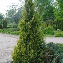 "Tuja vakarinė ""Aureospicata"" <br>(Thuja occidentalis""Aureospicata"")"