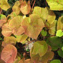 Vynmedis japoninis <br>(Vitis coignetiae)