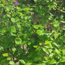 Kalikantas virgininis <br>(Calicanthus floridus)