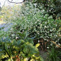 Balža širdžialapė<br>(Crambe cordifolia)