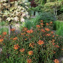 "Karpažolė himalainė""Fireglow""<br>(Euphorbia griffithii""Fireglow"")"