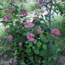 """Hortenzija šviesioji """"Invincibelle"""" <br>(Hydrangea arborescens """"Invincibelle"""")"""