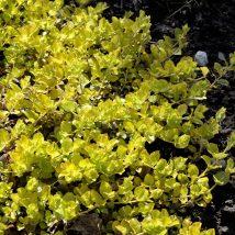 """Šilingė šliaužiančioji""""Aurea""""<br>(Lysimachia nummularia""""Aurea')"""