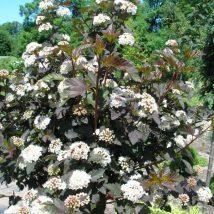 "Pūslenis putinalapis ""Diabolo"" <br>(Physocarpus opulifolius ""Diabolo"")"