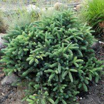 "Eglė ajaninė""Nana"" <br>(Picea jezoensis""Nana"")"