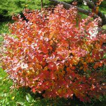 Lanksva beržalapė <br>(Spiraea betulifolia)