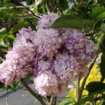 """Alyvos paprastosios """"Rose de Moscou"""" <br>(Syringa vulgaris """"Rose de Moscou"""")"""