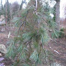 """Pušis veimutinė""""Pendula""""<br>(Pinus strobus""""Pendula"""")"""